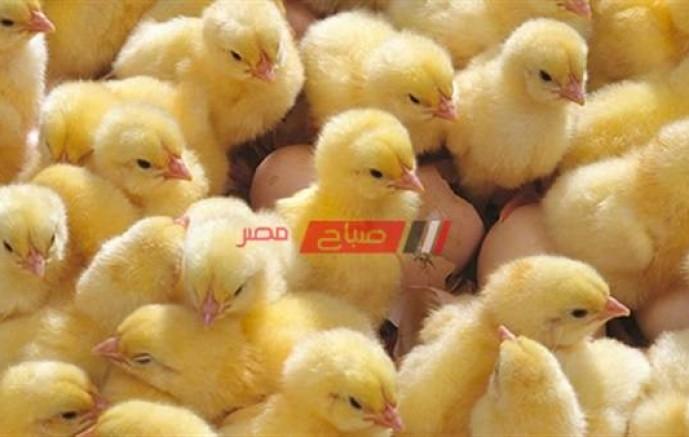 أسعار الكتاكيت بكل أنواعها اليوم الأحد 7-3-2021 في مصر