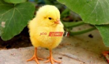 أسعار الكتاكيت اليوم الأربعاء 23-6-2021 في أسواق مصر