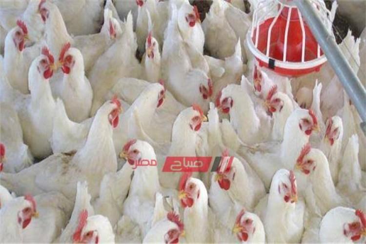 أسعار الدواجن اليوم الأحد 25-7-2021 في مصر