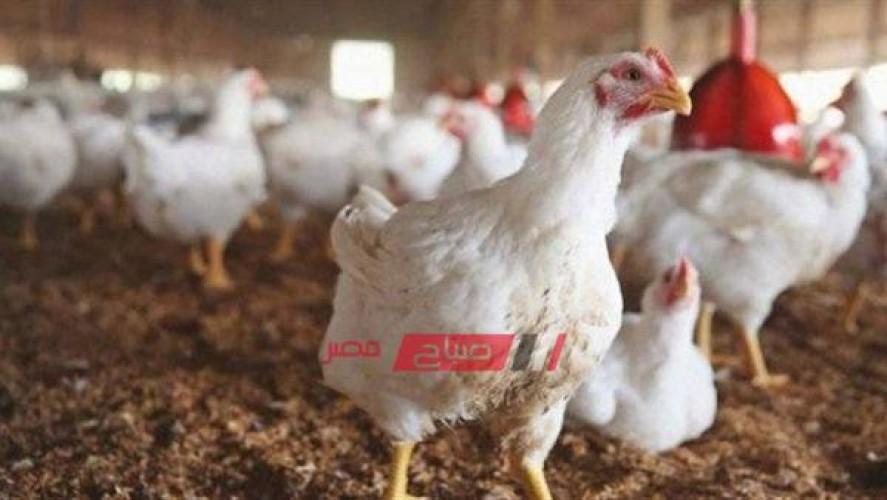 أسعار الدجاج بالكيلو اليوم الإثنين 20 من سبتمبر الجاري