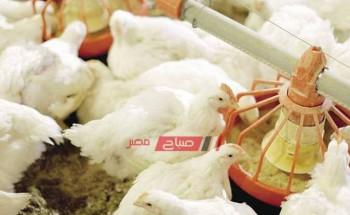 أسعار الدواجن اليوم الأحد 8-8-2021 في الأسواق المصرية