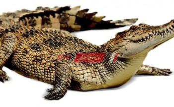 تفسير رؤية التمساح في المنام للامام الصادق