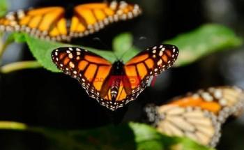 تفسير رؤية الفراشة في المنام بالتفصيل