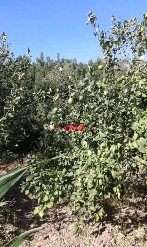 لماذا تنتشر زراعة أشجار الزيتون في الوطن العربي