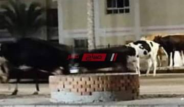 بالاسم إصابة شاب جراء حادث تصادم مروع بسبب المواشي الضالة على طريق شطا في دمياط