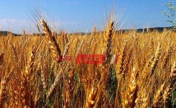 زراعة الوادي الجديد تزرع 131 ألف و128 فدان قمح