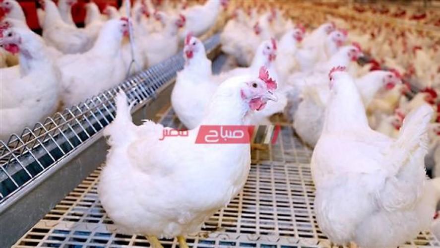أسعار الدواجن اليوم الجمعة 11-6-2021 في مصر