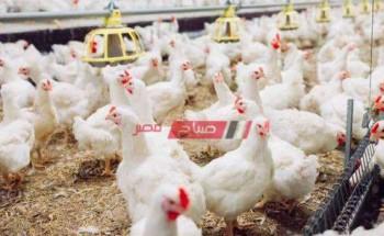 قائمة أسعار الدجاج وسعر الكتكوت للتربية اليوم الإثنين 27-9