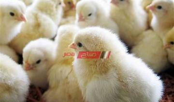 سعر الكتاكيت اليوم في مصر الصالحة للتربية في المنزل والمزارع