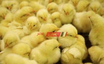 أسعار الكتاكيت اليوم الخميس 25-2-2021 في أسواق مصر لكل الشركات