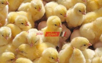 أسعار الكتاكيت اليوم السبت 4-9-2021 في مصر