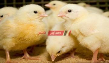 أسعار الكتاكيت اليوم الخميس 15-4-2021 البلدي والبيضاء بالسوق المصري