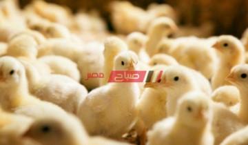 أسعار الكتاكيت اليوم الإثنين 12-4-2021 في مصر