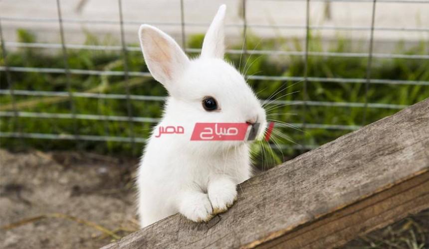 أسعار الأرانب بالكيلو اليوم الأربعاء في السوق المصري 13-10-2021