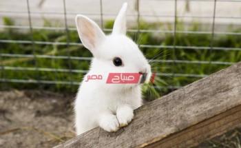 متوسط أسعار الأرانب اليوم الأحد 12-9-2021 في الأسواق المصرية