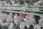 أسعار الأرانب اليوم الأربعاء 16-6-2021 في السوق المصري