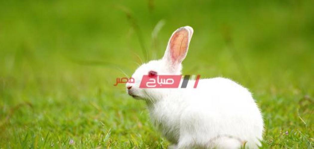 أسعار الأرانب اليوم الأربعاء 23-6-2021 في أسواق مصر