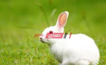 متوسط أسعار الأرانب اليوم الجمعة 7-5-2021 في أسواق مصر