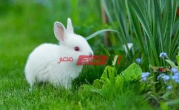 أسعار الأرانب في مصر اليوم السبت 8-5-2021