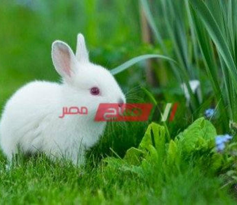 متوسط سعر كيلو الأرانب محدث اليوم الأربعاء