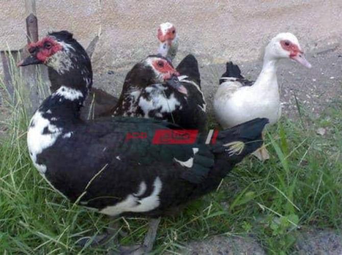 أسعار كل انواع البط في السوق المصري اليوم الثلاثاء