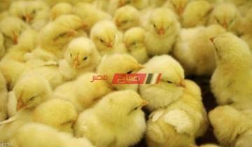 الأسعار المحدثة لكل أنواع الكتاكيت في مصر اليوم الإثنين