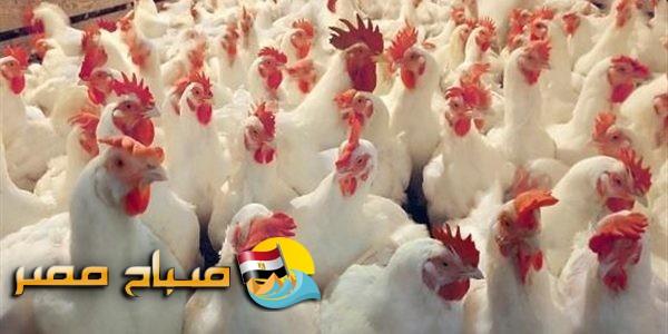 اسعار الدواجن اليوم الجمعة 10-8-2018 بمحافظة الإسكندرية