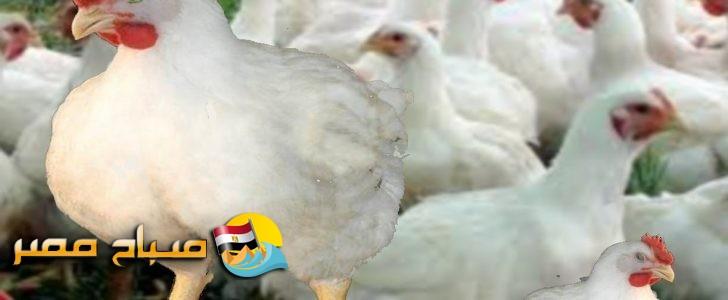 اسعار الدواجن البلدي والبيضاء اليوم الخميس 21-6-2018 بمحافظة الإسكندرية