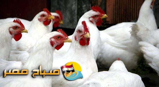 اسعار الدواجن البلدي والبيضاء اليوم الأربعاء 16-5-2018 بالإسكندرية
