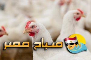 أسعار الدواجن اليوم الأربعاء 21-8-2019 بالإسكندرية