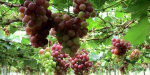 لتناول العنب فوائد