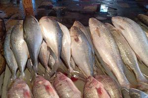 أسعار الأسماك اليوم الثلاثاء 29-1-2019 بمحافظة الإسكندرية