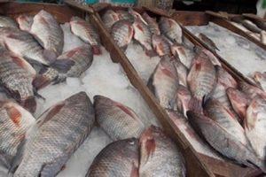 تباين أسعار السمك البلطي في أسواق محافظات مصر اليوم