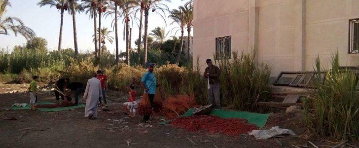 تضامن دمياط تشرف على جني محصول البلح وتوزيعه مجانا على الاسر الاكثر احتياجا