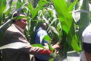 وكيل الزراعة بدمياط يتفقد زراعات الذرة بالسوالم على مساحة ١٠ أفدنة