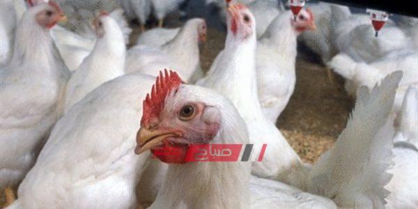 أسعار الدواجن البلدي والبيضاء اليوم الأربعاء 26-2-2020 في الإسكندرية