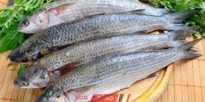 أسماك البوري - الفسيخ