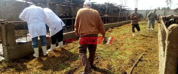 إعدام رأس ماشية مذبوحه ومعده للبيع بدمياط لإصابتها بالسل العام