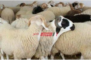 صباح مصر ينشر أسعار القائم من ضأن الخراف في المحافظات